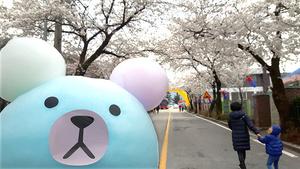 꽃놀이 가자! 제천 청풍호 벚꽃축제