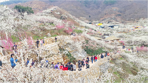 광양매화마을, 상춘객들로 '꽃물결'