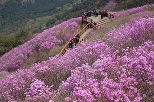 천주산 진달래 축제 4월6~7일